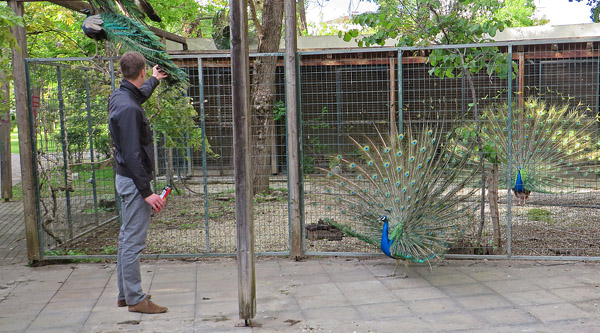 Peacocks in Karditsa
