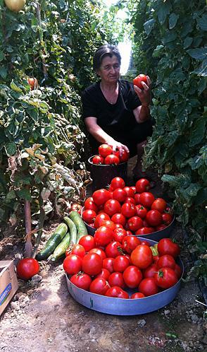 Grandma Athanasia's Tomato Vines